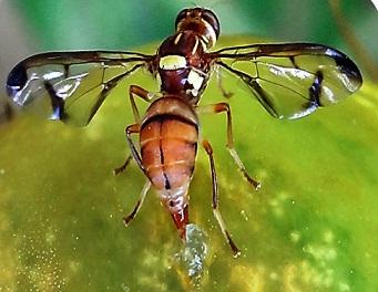 insecte-fruit