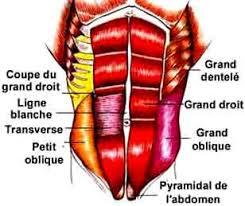muscle-abdominaux-anatomie