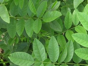 plante réglisse