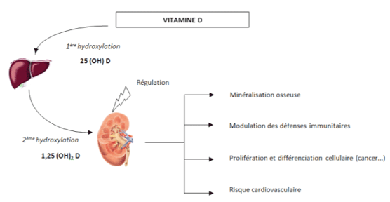role-vitamine-d