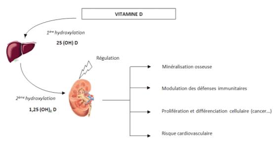 role-vitamine-d